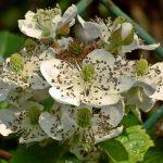 Jeżyna bezkolcowa – jak ją sadzić i pielęgnować?