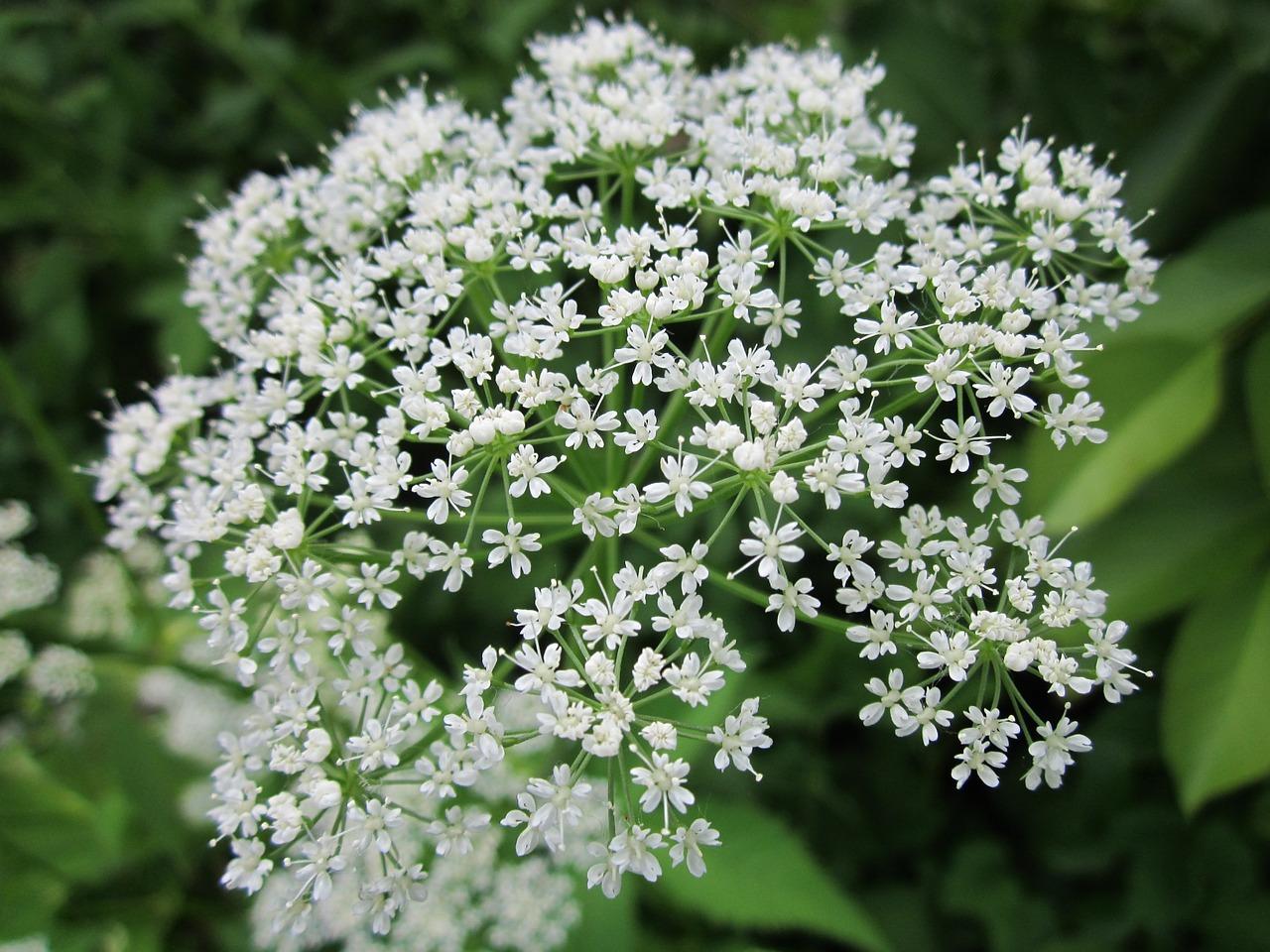 Podagrycznik pospolity – roślina niedoceniona