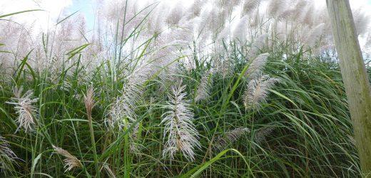 Trawa pampasowa – uprawa, zimowanie, sadzonki