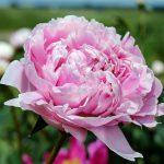 Piwonie – wymagające rośliny o pięknych pełnych kwiatach