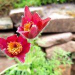 Przydomowy skalniak – wybieramy rośliny